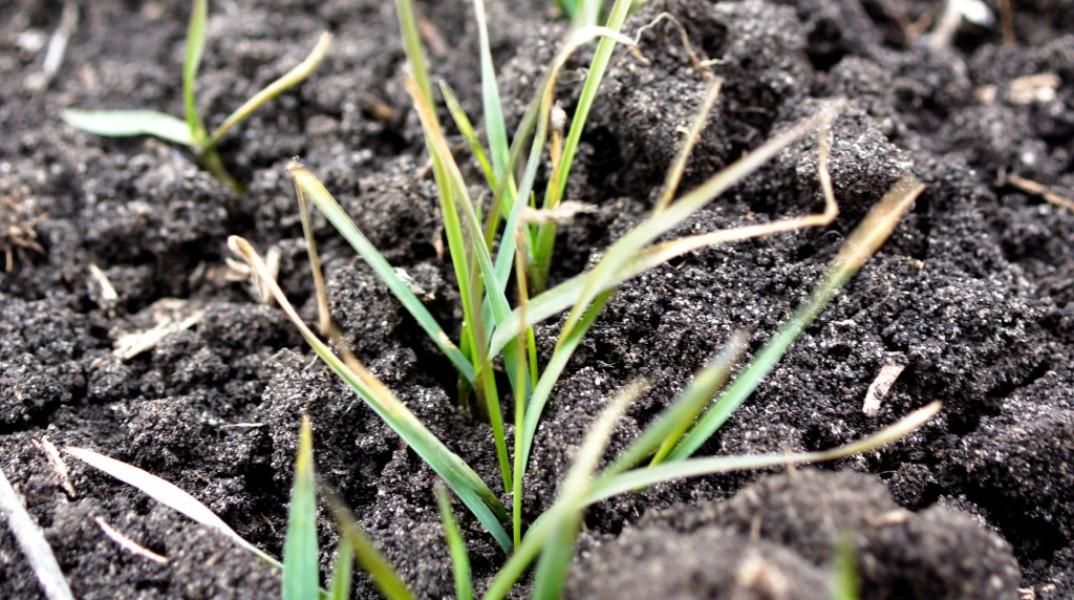 Когда сажать озимую пшеницу в подмосковье 8